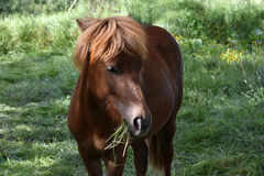 Islandic horse Royalty Free Stock Photography