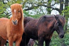 Islandic horses. Islandic horse is standing and looking stock photos