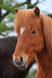 Islandic horses. Islandic horse is standing and looking royalty free stock images