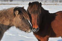 Islandic Horses. Two Islandic horses in winter stock photos