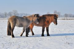 Islandic Horses Stock Photos