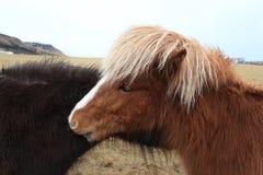 Islandic horses. Background yellow field stock photos