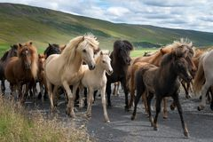 Islandic horses on a gravel road. Colorful islandic horses passing by on a gravel road. A mother protects her foal royalty free stock image