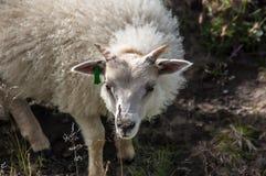 Islandic possing小的绵羊 免版税库存图片