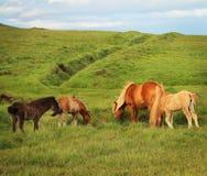 Islandzcy konie Zdjęcie Royalty Free