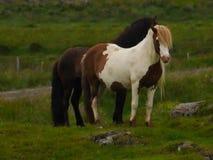 Islandzcy konie Zdjęcia Stock