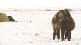Islandzcy konie biorą opiekę each inny zbiory wideo