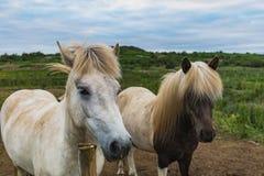 Islandzcy konie na zielenieją pole w lecie obraz stock