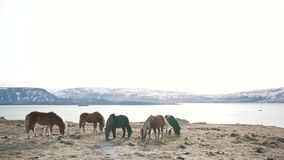 Islandzcy konie pasają w natury zakończeniu zbiory wideo