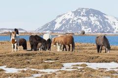 Islandzcy konie z halnym tłem obraz royalty free