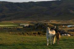 Islandzka końska rodzina na icelandic gospodarstwie rolnym Obraz Stock