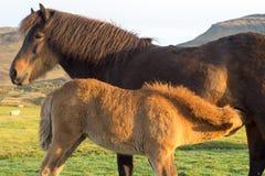 Islandzka końska rodzina na icelandic gospodarstwie rolnym Obrazy Stock