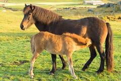 Islandzka końska rodzina na icelandic gospodarstwie rolnym Obrazy Royalty Free