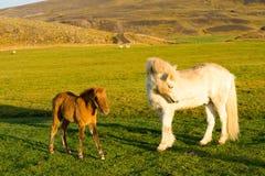 Islandzka końska rodzina na icelandic gospodarstwie rolnym Zdjęcia Stock