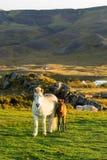 Islandzka końska rodzina na icelandic gospodarstwie rolnym Zdjęcie Stock