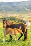 Islandzka końska rodzina na icelandic gospodarstwie rolnym Zdjęcia Royalty Free