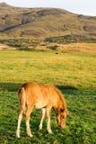 Islandzki źrebię Obrazy Royalty Free