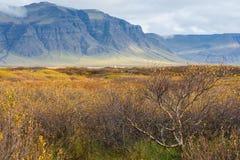 Islandzki drzewo w jesieni z górą w tle Obraz Stock