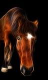 Islandzki koń obrazy stock