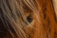 Islandzki koń, Reykholt, Złoty okrąg, Iceland fotografia royalty free