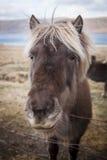 Islandzki koń Fotografia Royalty Free