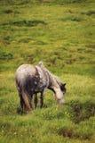 Islandzki koń Zdjęcie Royalty Free