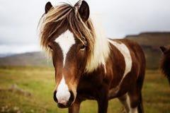 Islandzki koń Obrazy Royalty Free