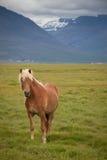 Islandzki koń w krajobrazie Zdjęcie Royalty Free