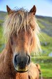 Islandzki konik fotografia stock
