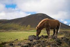 Islandzki konik w paśniku Fotografia Royalty Free