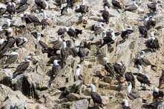 Islas Ballestas. Wildlife on Islas Ballestas in Peru Royalty Free Stock Image