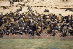 Islas Ballestas. Seals on Islas Ballestas in Peru Stock Image