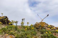 Islas de Berlengas, Portugal - gaviota de arenques que saca de una roca en el Berlengas imagen de archivo