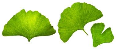 Islated bladmakro för Ginkgo biloba, gröna ecodesignbeståndsdelar, texturerade naturliga åder och stomatasidor på vit bakgrund royaltyfri bild