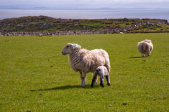 Islay sheep Stock Images