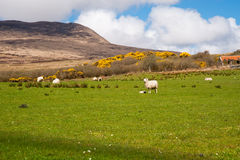 Islay sheep Royalty Free Stock Photo