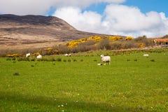 Islay sheep. Sheep on the isle of Islay, Scotland royalty free stock photo