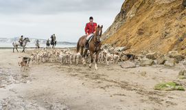 Isle of Wight Foxhounds. Brook Bay, Isle of Wight, England. The Isle of Wight. October 29, 2016.  Foxhounds on a hunt on the beach at Brook Bay on the Isle of Stock Photo