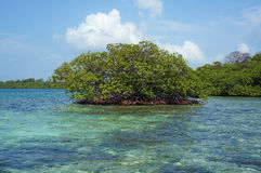 Islet of mangrove tree in the Caribbean sea Royalty Free Stock Photography