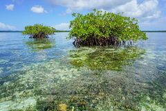 Islets of mangrove in shallow water Caribbean sea Royalty Free Stock Photo