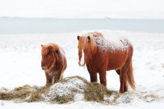 Isländsk sto med fölet Arkivbild