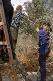 ISM ställa upp som frivillig i en olivgrön dunge, Palestina royaltyfri fotografi