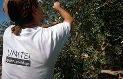 ISM ställa upp som frivillig i en olivgrön dunge, Palestina royaltyfria foton