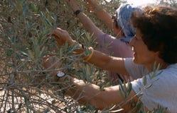 ISM ställa upp som frivillig i en olivgrön dunge, Palestina royaltyfri foto
