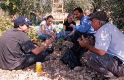 ISM ställa upp som frivillig i en olivgrön dunge, Palestina arkivfoto