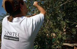 ISM volunteers in an olive grove, Palestine Royalty Free Stock Photos