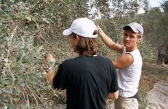 ISM volunteers in an olive grove, Palestine stock images