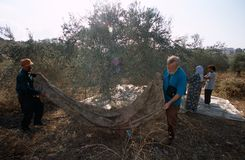 ISM volunteers in an olive grove, Palestine Royalty Free Stock Image