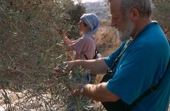 ISM volunteers in an olive grove, Palestine Royalty Free Stock Images