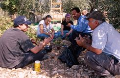 ISM volunteers in an olive grove, Palestine stock photo